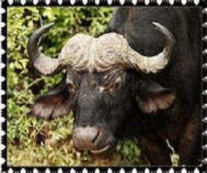 donate Cape Buffalo