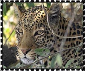 donate Leopard