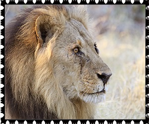 donate lion